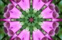 digitale purpurea